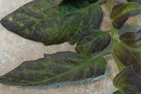 Phosphorus Deficiency in Potato on Potato