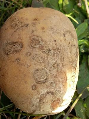Powdery Scab on Potato