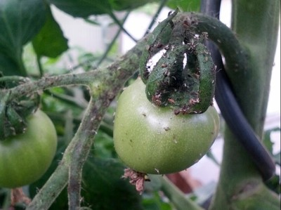 Aphid on Tomato