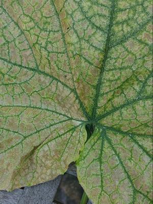 Spider Mite on Cucumber