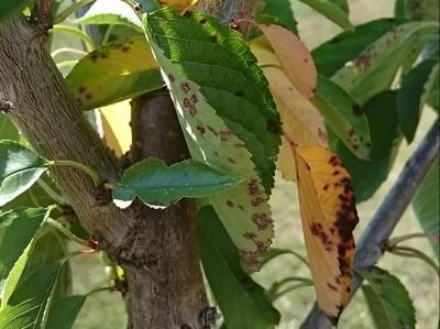 Cherry Leaf Spot on Cherry