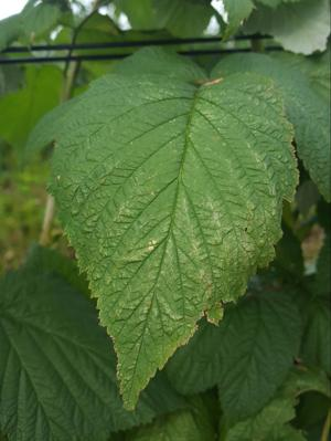 Spider Mite on Currant