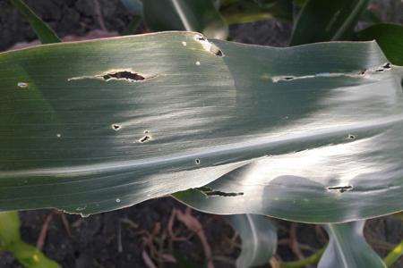 Spotted Stemborer on Maize