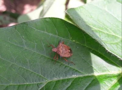 Stink Bugs on Soybean on Soybean