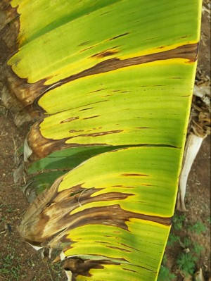 Panama Disease on Banana
