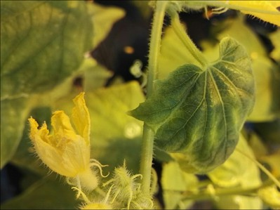 Calcium Deficiency in Cucurbits on Cucumber