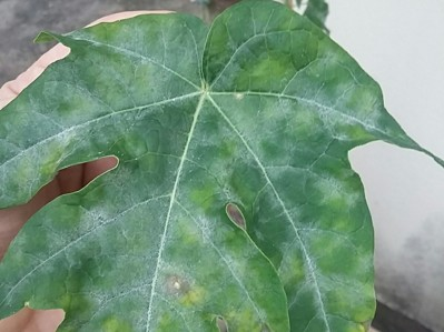 Powdery Mildew on Papaya on Papaya