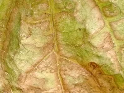Fusarium Wilt on Pea