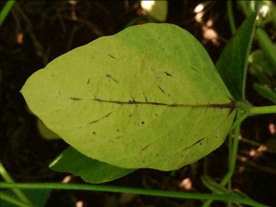 Anthracnose of Soybean on Soybean