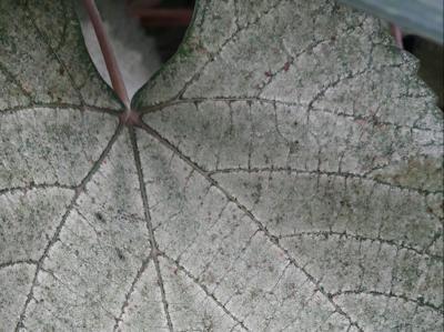 Spider Mite on Grape