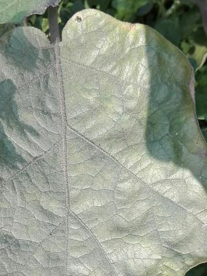 Spider Mite on Eggplant