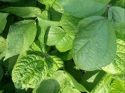Urd Bean Leaf Crinkle Virus on Gram