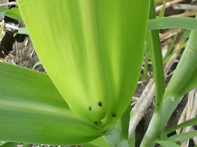Fall Armyworm on Sorghum