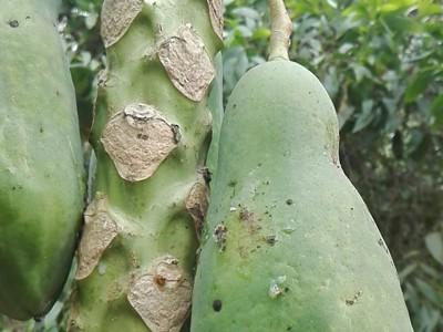 Anthracnose of Papaya and Mango on Papaya