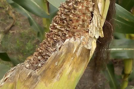 Common Rust on Maize