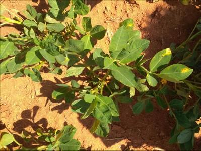Bud Necrosis Disease on Peanut