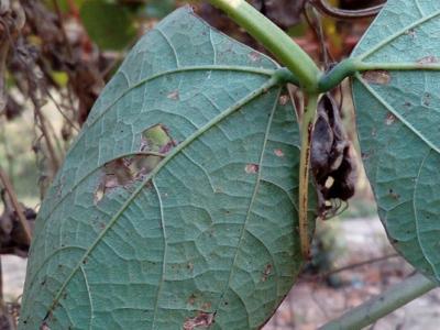 Cucumber Beetle on Bean