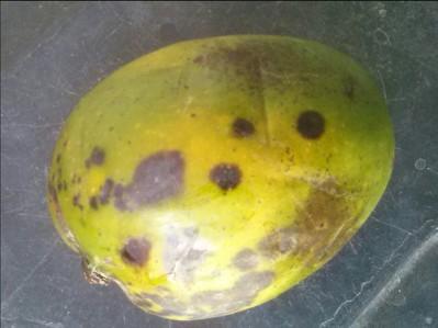 Anthracnose of Papaya and Mango on Mango