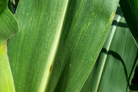 Maize Leaf Streak Virus on Maize