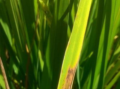 Leaf Scald of Rice on Rice
