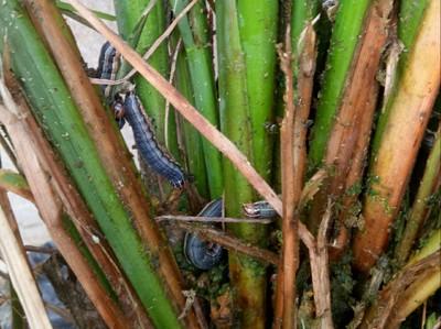 Fall Armyworm on Rice