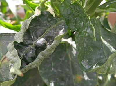 Thrips on Pepper