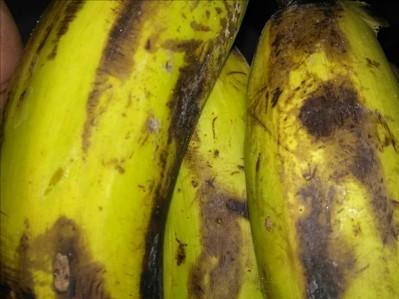 Anthracnose of Banana on Banana