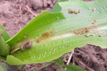 Armyworm on Maize