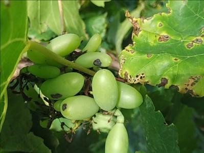 Anthracnose of Grape on Grape
