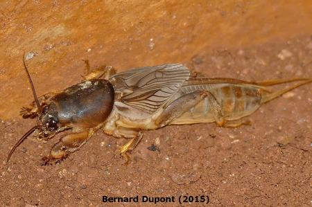 African Mole Cricket on Pepper