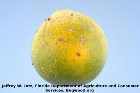 Alternaria Brown Spot on Citrus