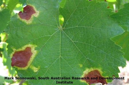 Angular Leaf Scorch on Grape