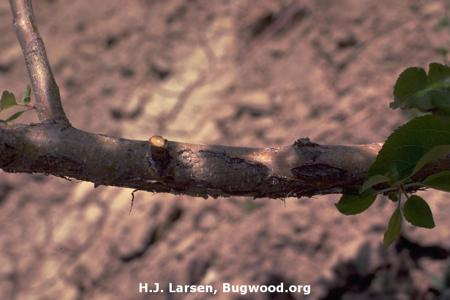Anthracnose of Apple on Apple