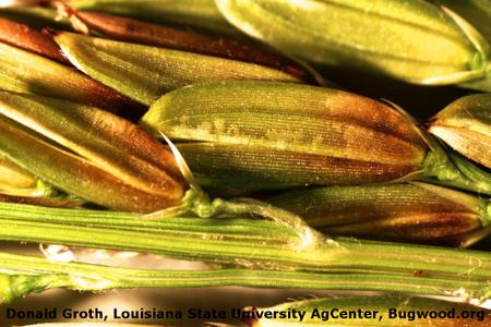 Bacterial Panicle Blight on Rice