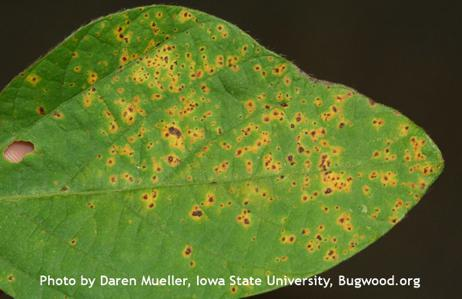 Bacterial Pustule on Soybean