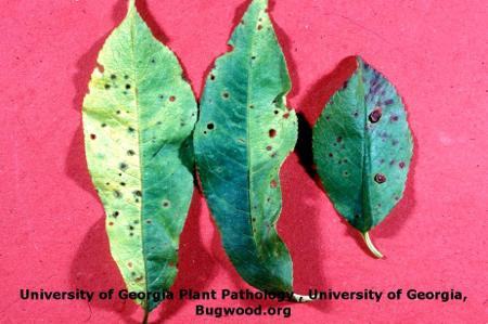 Bacterial Spot on Stone Fruits on Cherry