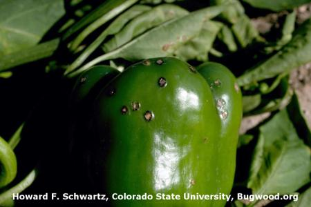Bacterial Spot on Pepper
