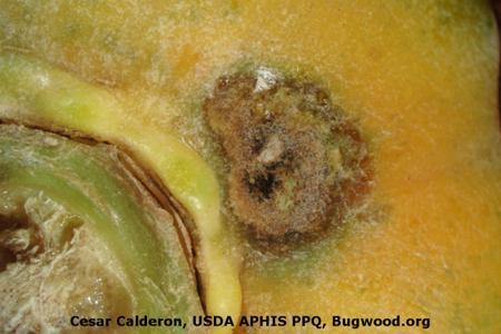 Black Spot Disease of Papaya on Papaya