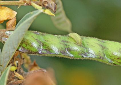 Pea Blue Butterfly on Gram