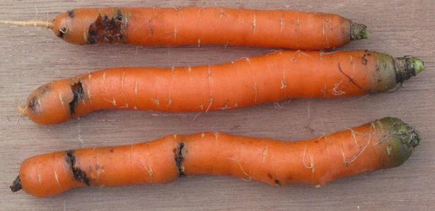 Carrot Fly on Carrots