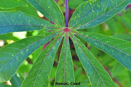 Cassava Mosaic Disease on Manioc