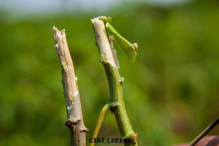 Cassava Phytoplasma Disease on Manioc