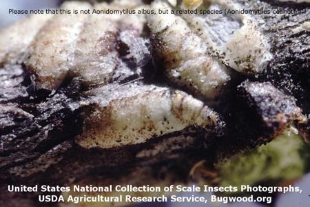 Cassava scale on Manioc