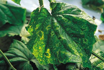 Cucumber Green Mottle Virus on Cucumber