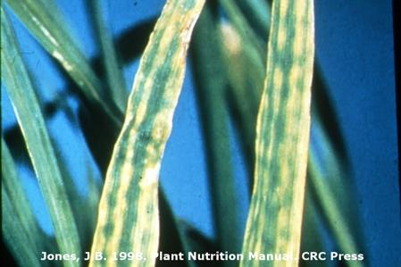 Magnesium Deficiency on Wheat