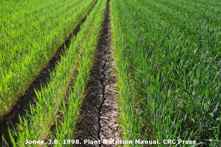 Nitrogen Deficiency on Wheat