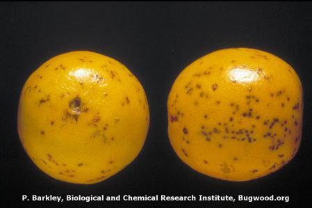 Citrus Black Spot on Citrus