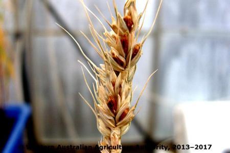 Common Bunt of Wheat on Oat