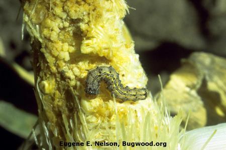 Corn Earworm on Maize