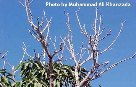 Mango Dieback Disease on Mango